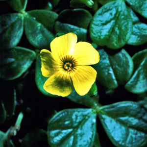 Oxalis megalorrhiza